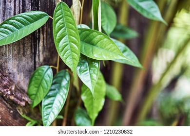 Leaves of young bamboo