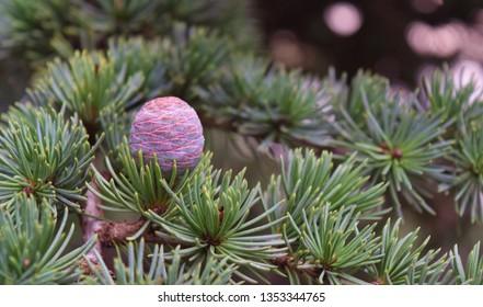 Lebanese cedar (Cedar Libani) Branch with apple