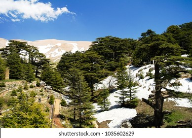 Lebanese cedars at the Arz ar-Rabb mountain aka Cedars of God, Kadisha valley, Lebanon