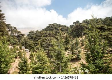 Lebanon, Arez, August 08, 2017: The Cedars of God located at Bsharri - Lebanon.