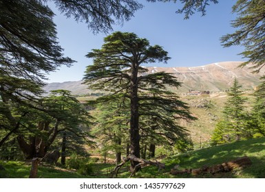 Lebanon cedar. The Cedars of God located at Bsharri, are one of the last vestiges of the extensive forests of the Lebanon cedar that once thrived across Mount Lebanon. Lebanon