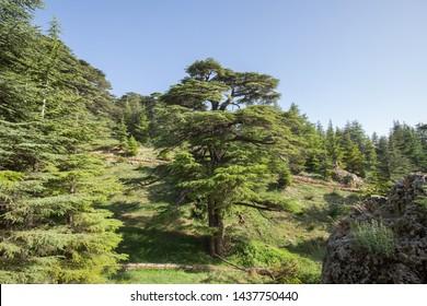 Lebanon cedar. The Cedars of God located at Bsharri, are one of the last vestiges of the extensive forests of the Lebanon cedar that once thrived across Mount Lebanon. Lebanon