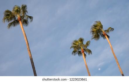 Lecce Italy. Three tall palm trees in Piazetta Antonio Panzera in centre of the historic baroque city of Lecce in Puglia.