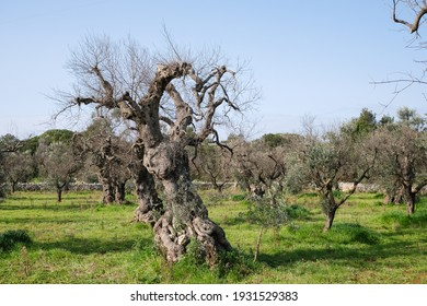 Lecce, Italy-March 7, 2021: olive tree killed by the bacterium of xylella fastidiosa, the disease has destroyed all the olive groves of Salento.