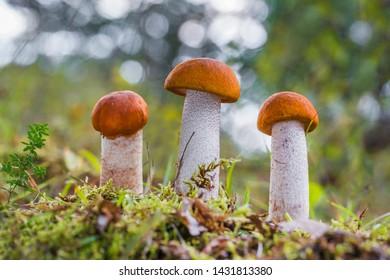 Leccinum aurantiacum - edible mushroom. Fungus in the natural environment. English: red-capped scaber stalk