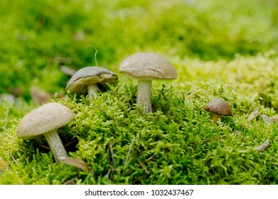 Leccinum scabrum Boletaceaeis an edible mushroom in the moss