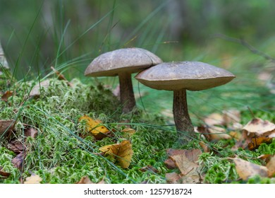Leccinum scabrum, commonly known as the rough-stemmed bolete, scaber stalk, and birch bolete