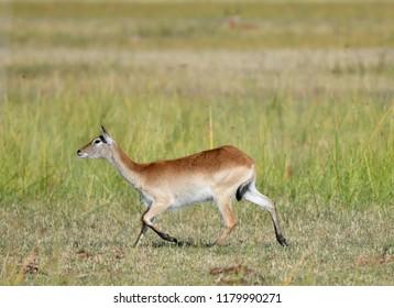 Lechwe Antilope Botswana