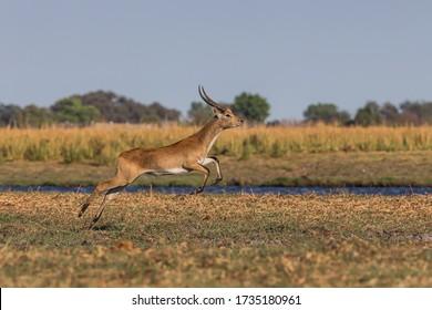 Lechwes leap along the banks of the Chobe River in Chobe National Park Botswana
