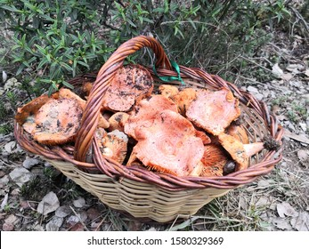 Lectarius deliciosus. Traditional Wicker basket full of wild Red Pine Mushrooms. Otherwise known as Saffron Milk Cap. Edible orange/green fungi grown in Europe. Popular in France and Northern Spain.