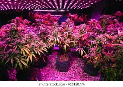LED Marijuana Grow