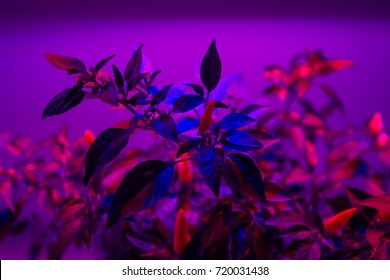 LED phyto light lamps for plants, lightening of seedlings and plants in greenhouses. industrial cultivation of plants under artificial light