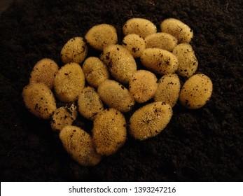 leech cocoons and baby leeches in leech laboratory
