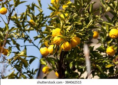 Leech lime or Bergamot fruits hanging on its tree., Soft focus