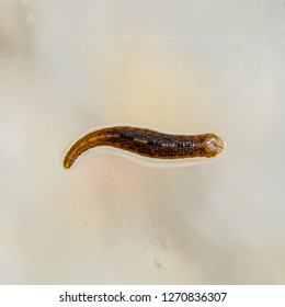 Leech on the glass. Bloodsucking animal. subclass of ringworms from the belt-type class. Hirudotherapy.