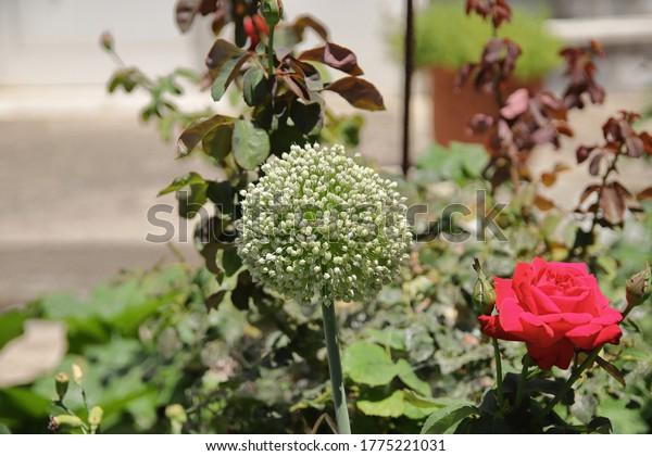 leek-flowers-gardenleek-known-allium-600