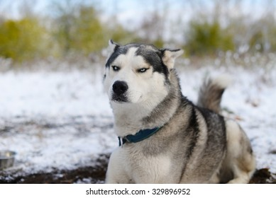 leer dissatisfied sled dog