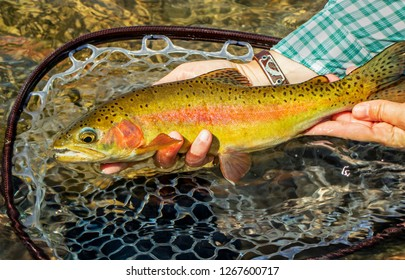 Lees Ferry AZ Rainbow trout caught & released fly fishing on the Colorado river...