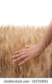 Left hand running through ripe wheat in the field