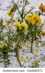 What's left of marigolds surrounded by hail in garden after intense Summer thunderstom.