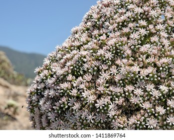 left page detail, detail, from a verode, succulent species fully blossoming on Tenerife, Canary Island. It has thousands of white to pink flowers and a pyramid shape and reaches a height of 1.40 m