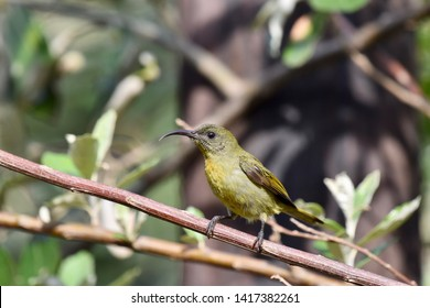 Left profile of an Olive Sunbird perched on a branch.   Photographed in South Africa.