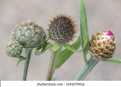 From left to right: Greater Knapwed (Centaurea scabiosa), Wig Knapweed (Centaurea phrygia),  and far right Brown-rayed Knapweed (Centaurea jacea)