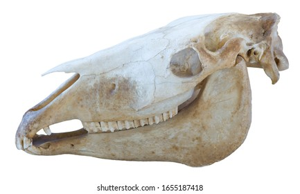 Left side of the skull horse (Equus caballus) with lower and upper jaw. Isolated on white