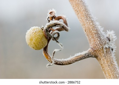 Leftover white grape on a tendril with lots of ice crystals
