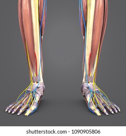 Leg muscle anatomy with skeleton, arteries, veins and nerves anterior view 3d illustration