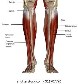Leg anatomy images stock photos vectors shutterstock leg muscles ccuart Gallery