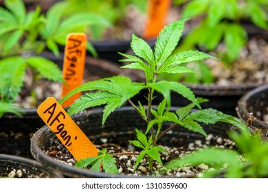 Legal cannabis grow room series - Marijuana growing and cultivation Afgani is a common strain