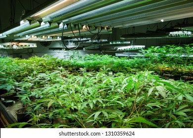 Legal cannabis grow room series - Marijuana growing and cultivation small plants in the early stage of growth under lights