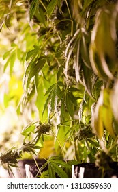 Legal cannabis grow room series - Marijuana growing and cultivation a portrait of a plant