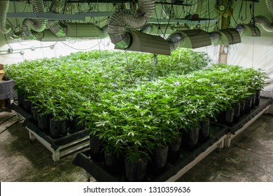 Legal cannabis grow room series - Marijuana growing and cultivation plants in bags under lights