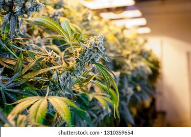 Legal cannabis grow room series - Marijuana growing and cultivation large bud in a grow room with lights