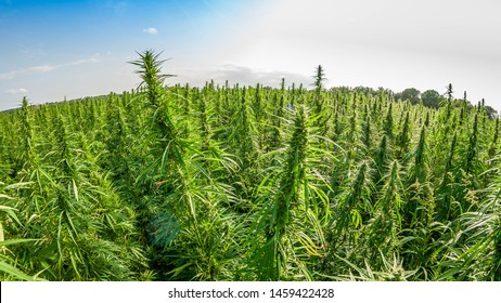 legal hemp field used for textiles in france