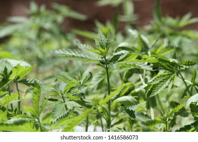 Legal Hemp Sativa plants used in the medical field