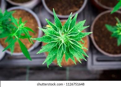 legal hemp weed cannabis light cbd