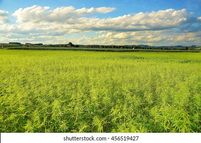 Legally grown cannabis field in Austria. Marijuana cultivation is permitted in some countries. These is technical hemp from which should not produce drug.