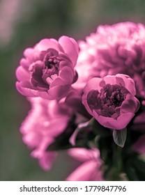 ピンクの色の牡丹の多くの束。 休みにしても美しい花。 花柄店には美しくロマンチックな花がたくさん咲いている。
