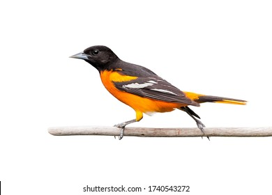 With its legs fully spread apart, a baltimore oriole walks across a branch. White background