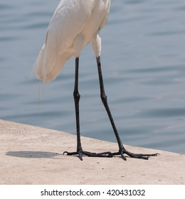 Legs of the great white Egret
