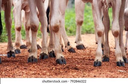 Legs of Nelore cattle