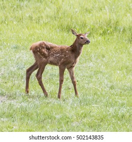 Legs A Lot - A newborn baby elk appears to be all legs as it learns to walk on them. The white spots provide camouflage and will disappear in about a year.
