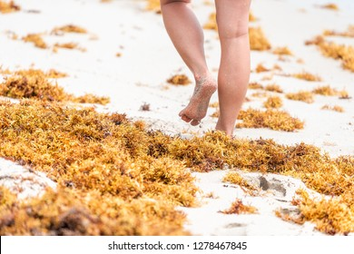 Legs of woman walking closeup on beach during sunny day in Miami, Florida with yellow sargassum seaweed