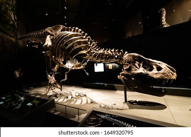 Leiden, The Netherlands - February 18, 2020: A skeleton of Tyrannosaurus Rex named Trix in the Naturalis Biodiversity Center in Leiden. The female skeleton has become famous around the world