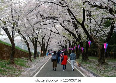 A leisure walk under a romantic archway of Sakura trees on a spring morning in Akaginanmen Senbon-zakura Park, Maebashi, Gunma, Japan ~ Hanami (admiring cherry blossoms) is a popular activity in Japan