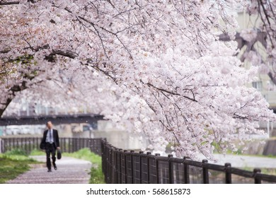 Leisure walk under a romantic archway of cherry blossom (Sakura) trees by Sewaritei river bank in Yawatashi, Kyoto Japan Hanami (admiring cherry blossoms) is a popular activity in Japan in springtime