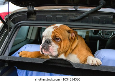 Leland, a British Bulldog, stands up in the back of the car, eager to get out and play with friends.